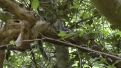 Grey Squirrel Pair mating in a beech tree Stock Footage