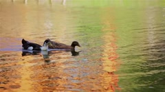 Two beautiful waterfowl duck floating on the water in the river Stock Footage