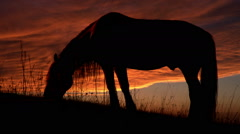 Horse Backlit Sunset - stock footage