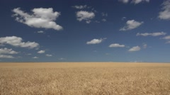 Beautiful Wheat Field with Waving Grain in Great Plains Stock Footage