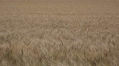 Amber Waves of Grain and Blue Sky in America Stock Footage
