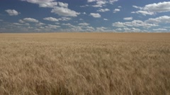 P03849 Waving Wheat in Great Plains at Harvest Time and Blue Sky Stock Footage