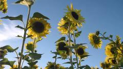 Sunny Sunflowers in the Garden Stock Footage