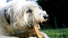 Dog Irish Wolfhound gnaw bones Stock Footage
