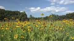 Tallgrass Prairie Wildflowers in Nebraska Stock Footage