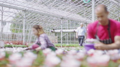Team of workers in the agricultural industry working in large nursery greenhouse - stock footage