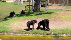 Chimpanzees close to Water Stock Footage