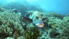 Harlequin sweetlips sheltering on coral reef Stock Footage