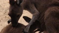 Mother and baby Kangaroo in Australia Stock Footage