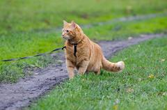 red cat walking on a leash along the footpath on the background of green gras - stock photo