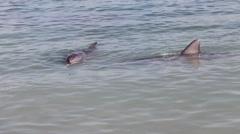 Two dolphin at Monkey Mia reserve, Shark Bay National park, Western Australia Stock Footage