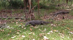 Lizard, goanna (Varanus) searching for food in a park in Australia Stock Footage