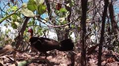 Australian brush turkey hides his eggs for lizard goanna in Noosa, Australia Stock Footage