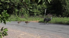 Cassowary crossing the street with babies in Australia Stock Footage