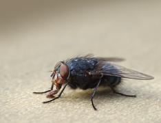 housefly macro closeup - stock photo