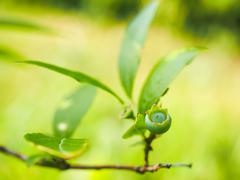 Green unripe blueberries towards bright green - stock photo