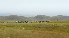Sheperd leads sheep flock to pasture Stock Footage