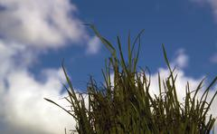 Low angle wheatgrass against the sky Stock Photos
