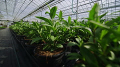 Rows of many young plants growing in a large commercial nursery greenhouse - stock footage