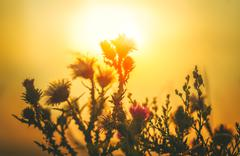 Sun backlit flower in sunset atmosphere Stock Photos