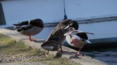 Ducks pruning on river bank Stock Footage
