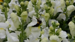 Bee on white flowers in the garden of a park collect nectar Stock Footage