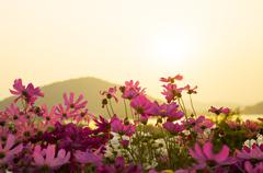 Cosmos flowers in sunset. Stock Photos
