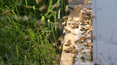 HONEY BEES AT HIVE Stock Footage