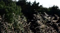Close Up of Wild Oats Blowing in the Wind Stock Footage