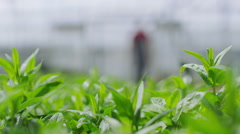 Worker in the agricultural industry checking the plants in a large greenhouse Stock Footage