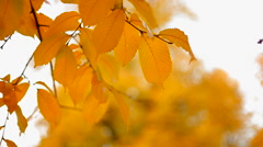 Yellow leafs - stock footage