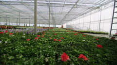 Rows of many flowering plants growing in a large commercial nursery greenhouse Stock Footage