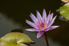 lotus and lotus leaf - stock photo