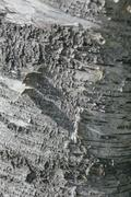 ash tree bark as texture background - stock photo