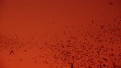 4K Thousands Of Bats Fly Through Sky At Sunset Stock Footage