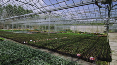 Rows of many flowering plants growing in a large commercial nursery greenhouse - stock footage