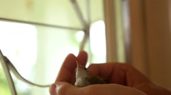 Closeup of Little Bird in Hands. Stock Footage
