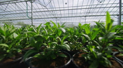 Rows of many young plants growing in a large commercial nursery greenhouse Stock Footage