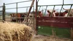 Cows and pitchfork wide Stock Footage