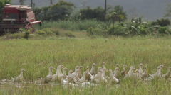 Goose swimming in rice field in slow motion with tractor in the background Stock Footage
