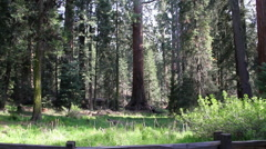 Sequoia Redwood Tree Grove Stock Footage