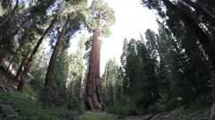 Sequoia Redwood Tree Grove Stock Footage