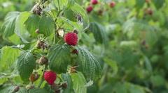 Growing organic raspberries closeup HD Stock Footage