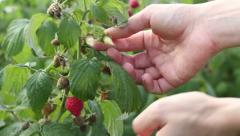 Picking raspberries from a plant at a fruit farm, close up HD Stock Footage