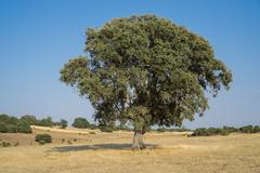 Holm oak - stock photo