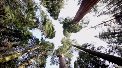 Sequoia Redwood Trees Upshot Stock Footage