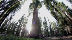 Sequoia Forest Redwood Trees - stock footage