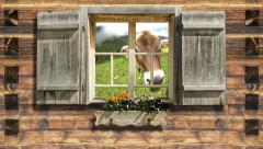 Snooping cow on mountain hut window Stock Footage