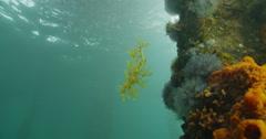 Leafy Sea Dragon Stock Footage