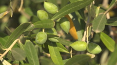 Close up Olive Branches in Orchard, Detail Exotic Unripe Tropical Fruits in Tree Stock Footage